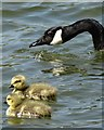 TL1307 : Goose and two goslings - St Albans Lake : Week 20