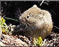 NR8468 : Bank vole (Myodes glareolus) : Week 20