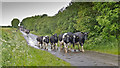 NY4035 : Cows West of Lamonby by Kim Fyson