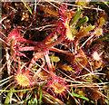 G5788 : Round-leaved Sundew (Drosera rotundifolia) by Anne Burgess