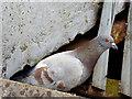 J3474 : Feral pigeon, Queen Elizabeth Bridge, Belfast (June 2014) by Albert Bridge