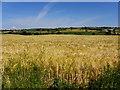 H3486 : Barley field, Carnkenny : Week 26