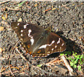 TM4078 : Purple Emperor (Apatura iris) butterfly - spreading its wings by Evelyn Simak