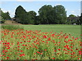 TQ2568 : Poppy Meadow at Mostyn Gardens : Week 27