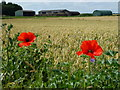 TL3291 : Poppies and wheat near Plantation Farm, Benwick by Richard Humphrey