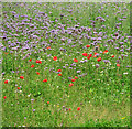 TG1320 : Poppies in borage crop field by Evelyn Simak