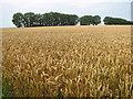 TG1420 : Windbreak in crop field by Evelyn Simak