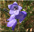 NJ7650 : Bluebell (Campanula rotundifolia) by Anne Burgess