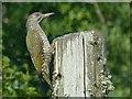 SX3171 : Juvenile Green Woodpecker by Robin Drayton
