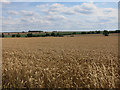 TL2566 : Ripe wheat field by Hugh Venables