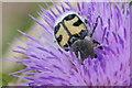 NH4039 : Bee beetle (Trichius sp.), Struy by Mike Pennington