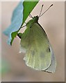 NT4936 : A Cabbage White butterfly laying eggs : Week 31