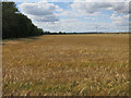 TL2867 : Barley field by Mere Way by Hugh Venables