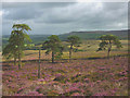 SD6748 : Trees on Kitcham Hill, Birkett Fell by Karl and Ali