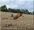 NO3715 : Leaping deer in wheat field near Hawklaw : Week 33
