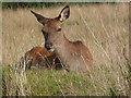 NR9350 : Red deer hind in Lochranza : Week 36
