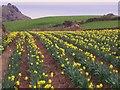 SW7012 : Daffodil Crop, Lizard by Chris Andrews