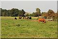 TF4786 : Theddlethorpe cattle by Richard Croft