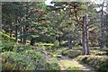 NN8590 : Track through pine woods, Glen Feshie : Week 38