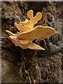 SU9147 : Bracket fungus : Week 39
