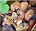 J4774 : Fungi, Kiltonga, Newtownards (October 2014) by Albert Bridge