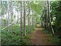 S4329 : Path through a southern beech plantation by Humphrey Bolton