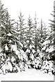 NS9525 : Sitka spruce, Wandel : Week 50