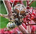 NT4936 : A garden spider with prey by Walter Baxter