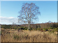 SU8459 : Silver Birch, Yateley Common by Alan Hunt