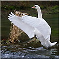 SK2066 : Swan displaying : Week 2
