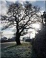 SJ4263 : Winter tree on Sandy Lane by Christine Johnstone