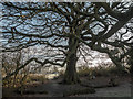 TQ2896 : Old Tree in Trent Park, London N14 by Christine Matthews