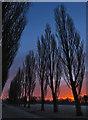 TA0528 : Costello poplars, Hull : Week 4
