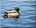SD7303 : A mallard at Blackleach Country Park : Week 5