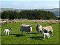 NY7742 : Pasture above Nenthead, Alston Moor by Andrew Smith