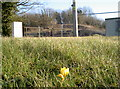 ST6658 : A crocus by the colliery by Neil Owen