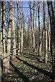 TL6856 : Trees and their shadows by Bob Jones