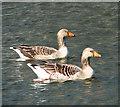 TG3715 : Greylag geese (Anser anser) by Evelyn Simak