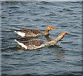 TG3504 : A pair of greylag geese (Anser anser) by Evelyn Simak