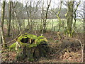 NT4963 : Mossy stump at Stobshiel by M J Richardson