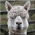 SK0981 : Alpaca : Week 12