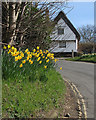 TL4446 : Thriplow: roadside daffodils by John Sutton