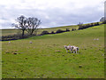 SP7621 : Sheep on Woad Hill by Robin Webster
