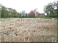 SP2872 : Expanse of Reedmace, west end of Abbey Fields lake, Kenilworth by Robin Stott