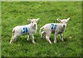 SS8847 : Lambs by Sparkhayes Lane : Week 13