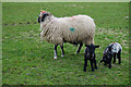 SE0137 : Sheep with lambs by Bill Boaden