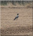 SW8674 : Hooded Crow (Corvus cornix) - Constantine Bay by Anthony Parkes