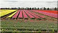 TF6916 : Tulip bulb farming by Adrian S Pye