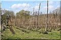 TQ6443 : Hop fields at Reeds Farm by Oast House Archive