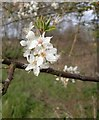 TQ0356 : Blackthorn blossom by the Wey Navigation : Week 15